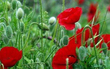 цветы, листья, красные, красный, маки, стебли, яркие, полевые