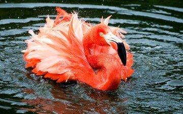 вода, озеро, река, капли, фламинго, брызги, птица, клюв, перья, плавание, рябь, голова, шея, розовый фламинго