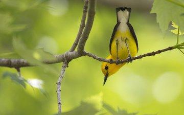 ветка, природа, лес, листья, макро, птица, жёлтая