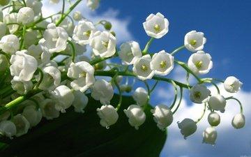 cvety, belye, nebo, goluboe