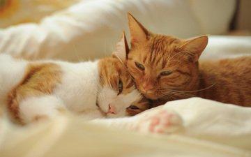 кошка, пара, отдых, кошки, рыжий кот