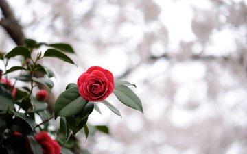 cvetok, listya, krasnyj, svet, rastenie, alyj, розмытость