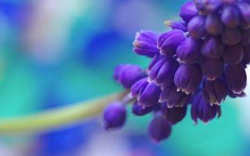 vesna, cvetok, goluboj, priroda, cvet, sinij, muskari, ma