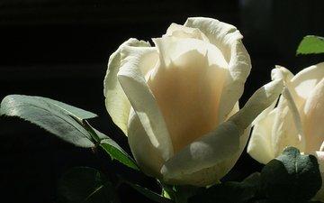 cvetok, roza, belaya