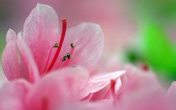rozovyj, cvetok, makro, леспестки