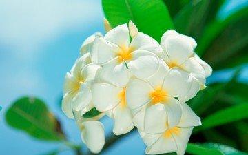 cvety, belye, makro, listya