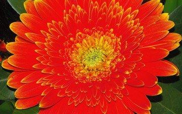 gerbera, cvety, oranzh