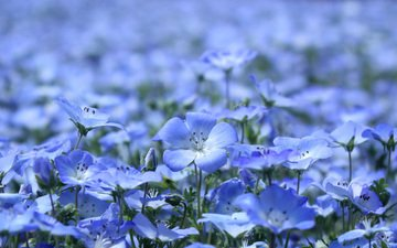 flowers, petals, glade, blue, beautiful