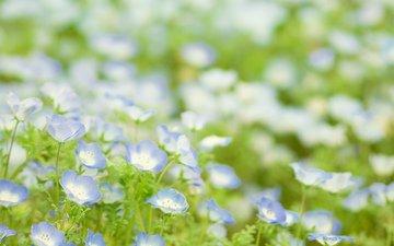 cvety, polyana, rasteniya, zelen, zelenaya, golubye, tra