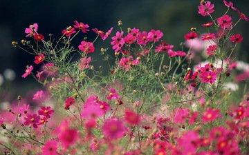 цветы, макро, лето, розовые, яркие, полевые, космея, cvety, leto, makro, rozovye, polevye, yarkie
