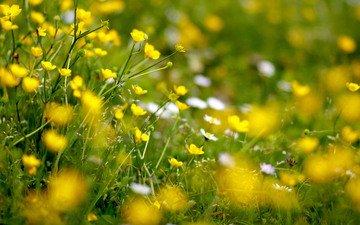 cvety, polyana, zheltyj, lyutiki