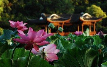 cvety, makro, listya, lotos, prud, besedka