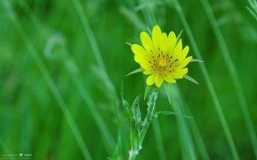 cvety, makro, priroda