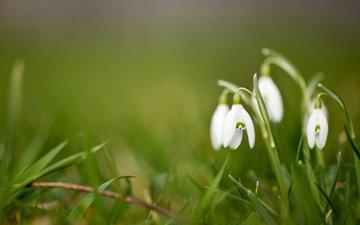 fon, cvety, belye, podsnezhniki, zelenyj