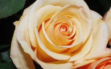 cvety, roza, bezh