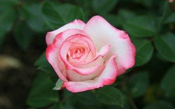 cvety, krasota, rozovye, rozy, priroda, utro