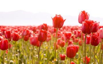 cvety, tyulpany, tyulpan, butony, stebli, vesn, леспестки