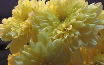 cvety, zheltye, xrizantemy
