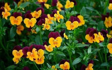 cvety, zelen, anyutiny glazki, виола