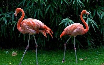 трава, зелень, листья, фламинго, птицы, перья, розовые фламинго