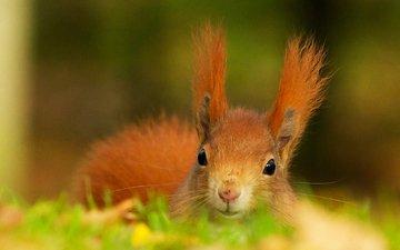 трава, рыжая, животное, уши, белка, голова, пушистая
