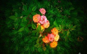 cvety, listya, rozy, jc mike, muxortov mixail, trova