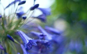 бутоны, макро, блики, размытость, синие, колокольчики, цветочки, makro, butony, sinie, bliki, cvetochki, kolokolchiki, ra
