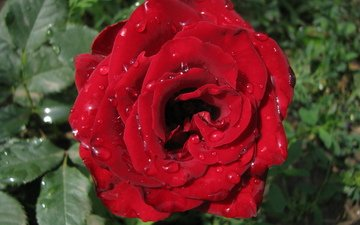роза, makro, kapli, roza, krasnaya