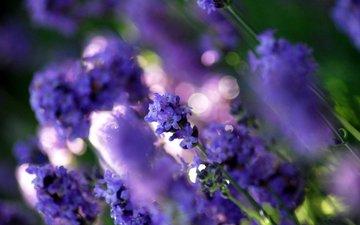 cvety, polyana, fioletovyj, rasteniya, cvet, lavanda, sv