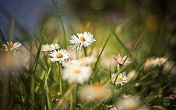 полюс, деревье, cvety, romashki, trava, polyana, leto, rasteniya