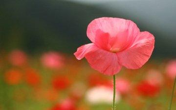 фокус камеры, цветок, поле, лето, лепестки, поляна, мак, розовый