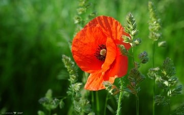 cvety, trava, mak, priroda