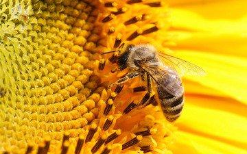 желтый, цветок, лепестки, подсолнух, пчела, podsolnux, zheltyj, pchela, крупным планом, нсекомое