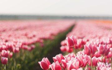 полюс, cvety, leto, kartinka, tyulpany, priroda, foto, obo