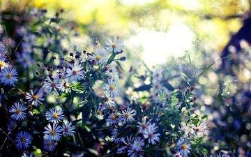 солнце, лето, блики, полевые цветы, размытие, cvety, leto, listya, cvetenie, rasteniya, zelen, sinie, priroda, cveta