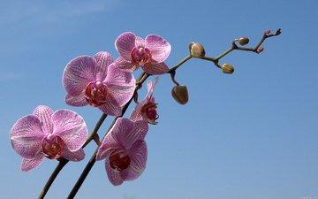 небо, цветы, ветка, бутон, голубое, орхидея