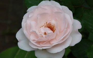 cvetok, roza, vecher