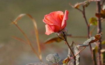 cvety, roza, priroda