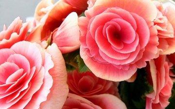 rozovye, rozy, buket