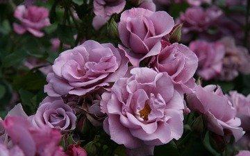 cvety, butony, rozovye, rozy, kust, prirod, грустит, леспестки