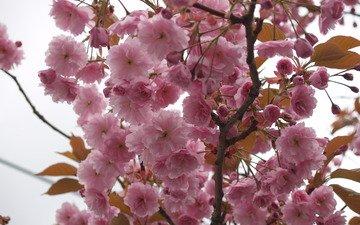 sakura, cvety, nebo, derevo, rozovye, vetvi, ma, lepestki