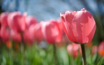 тюльпаны, rozovyj, vesna, polyana, cvetok, tyulpan, buton, stebel
