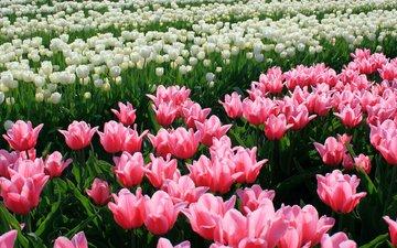cvety, tyulpany, butony, priroda, plantaciya