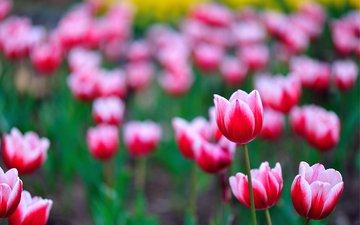 полюс, cvety, tyulpany, rozovye, розмытость, леспестки