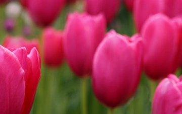 фокус камеры, поле, лепестки, размытость, тюльпаны, розовые