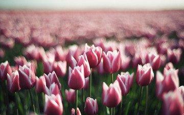 cvety, vesna, cvetok, tyulpany, tyulpan, butony