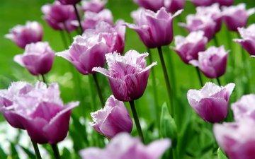 cvety, cvetok, tyulpany, tyulpan, butony, vesn, леспестки