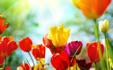 cvety, vesna, tyulpany, butony, priroda