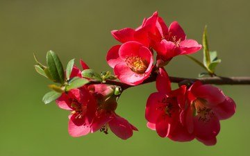 cvety, vesna, cvetenie, butony, priroda, vetka, ajva
