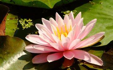 болотная лилия, нимфея, нимфея мадам вильфон гоннэр